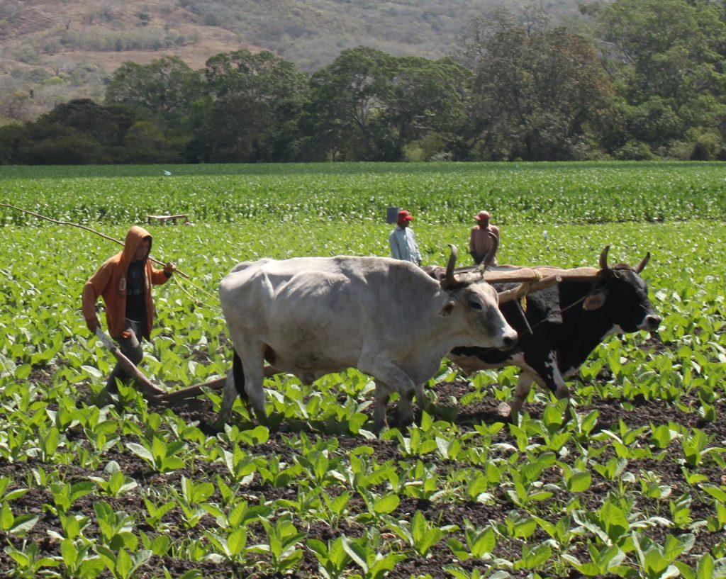 LA CASA DEL TABACO NICARAGUA BUEYES03