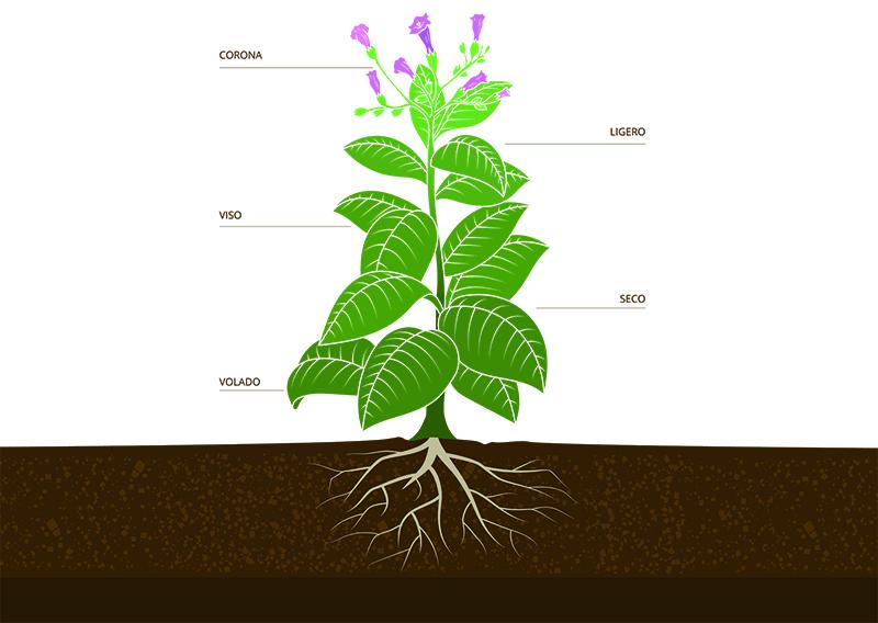 Planta de tabaco pisos foliares