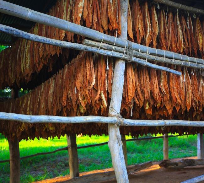 Curado de tabaco en Santander, Colombia.