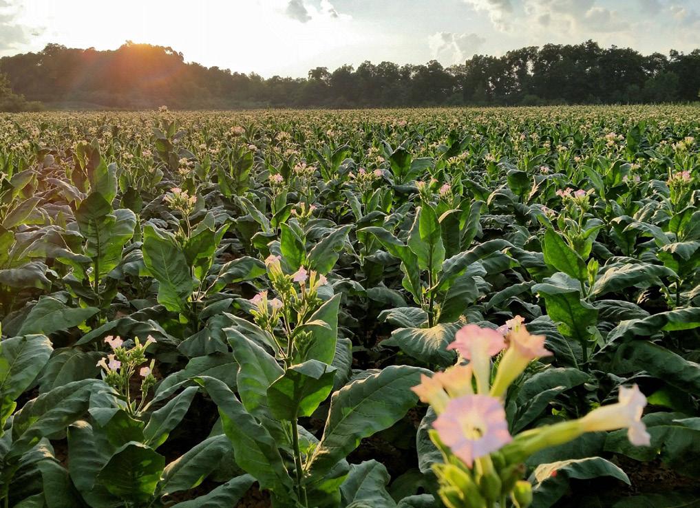 Con el tiempo, la semilla cubana se adaptó al clima y al suelo de Connecticut, sobre todo en los valles de Windsor y Housatonic, para producir un tabaco de sabor muy único.