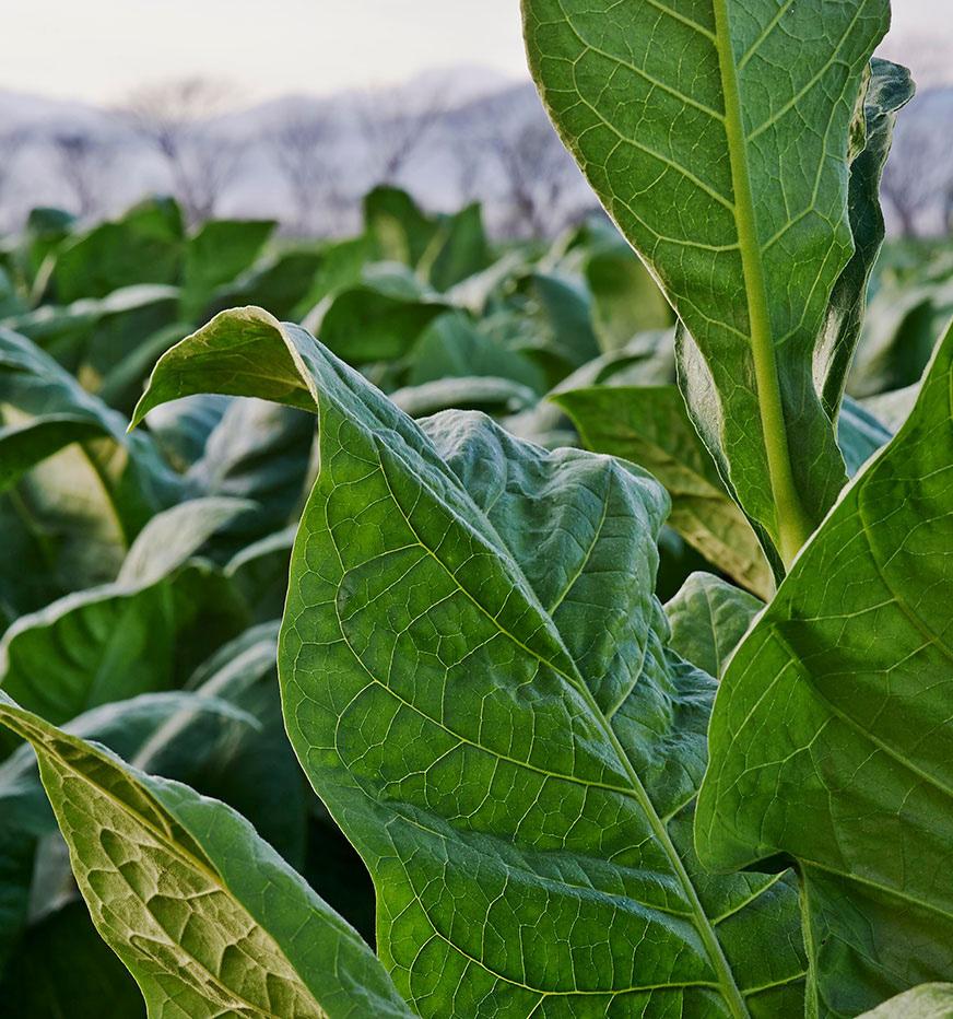 Planta de tabaco para cigarros premium en una plantación en Honduras.