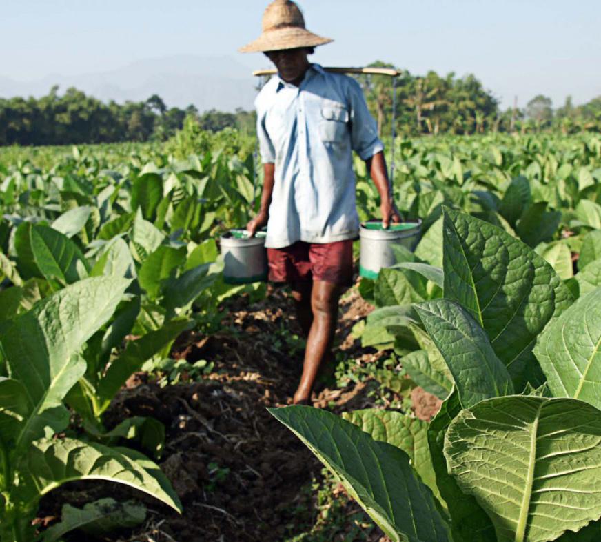 Plantación de tabaco para cigarros premium en Java, Indonesia.