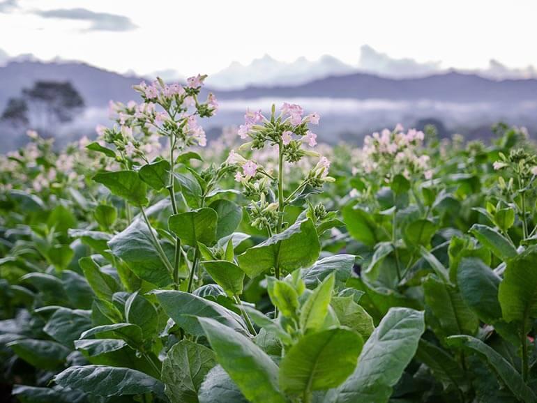 Desde 1800, el Valle de San Andrés en el estado mexicano de Veracruz ha sido epicentro del cultivo del mejor tabaco para cigarros premium.