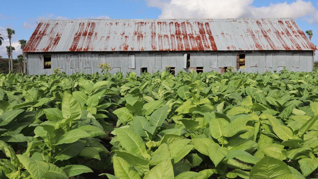 """Plantación de tabaco y Casa de Tabaco de José """"Jochy"""" Blanco en Jacagua, República Dominicana."""